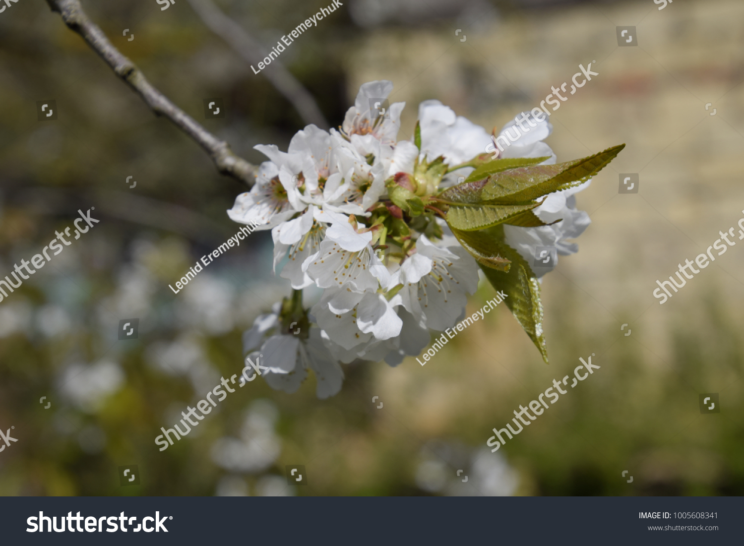 Blooming Wild Pear In The Garden Spring Flowering Trees