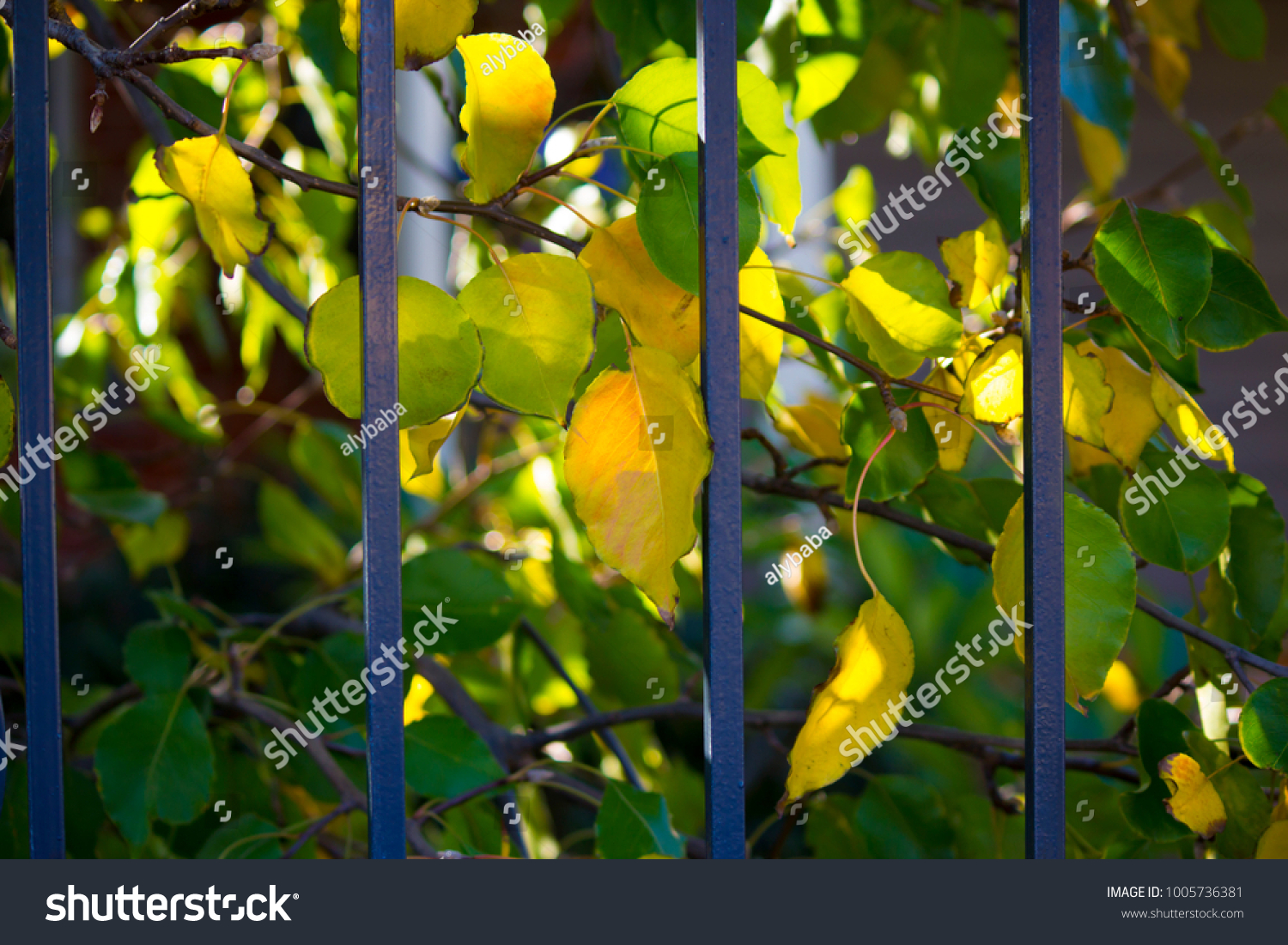 Brilliant Yellow Autumn Poplar Leaf Foliage Stock Photo 1005736381 ...