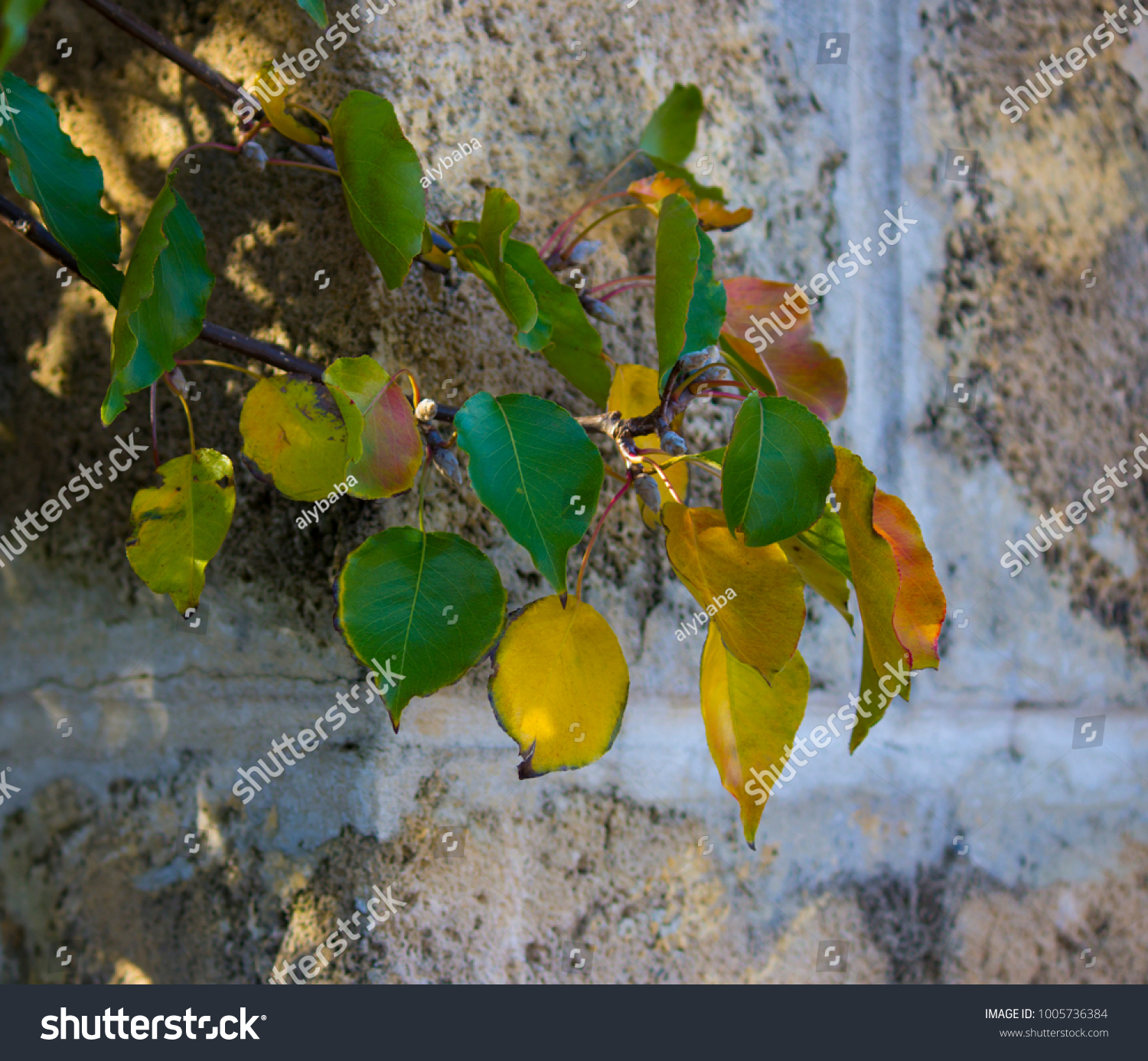 Brilliant Yellow Autumn Poplar Leaf Foliage Stock Photo 1005736384 ...