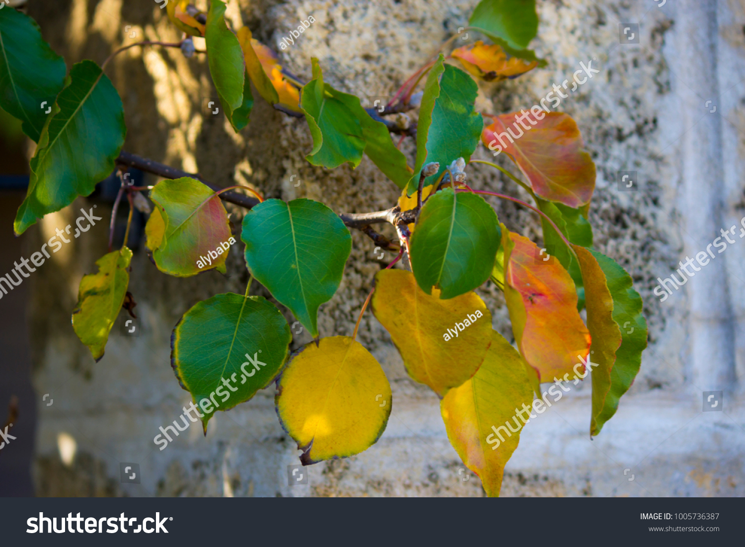 Brilliant Yellow Autumn Poplar Leaf Foliage Stock Photo 1005736387 ...