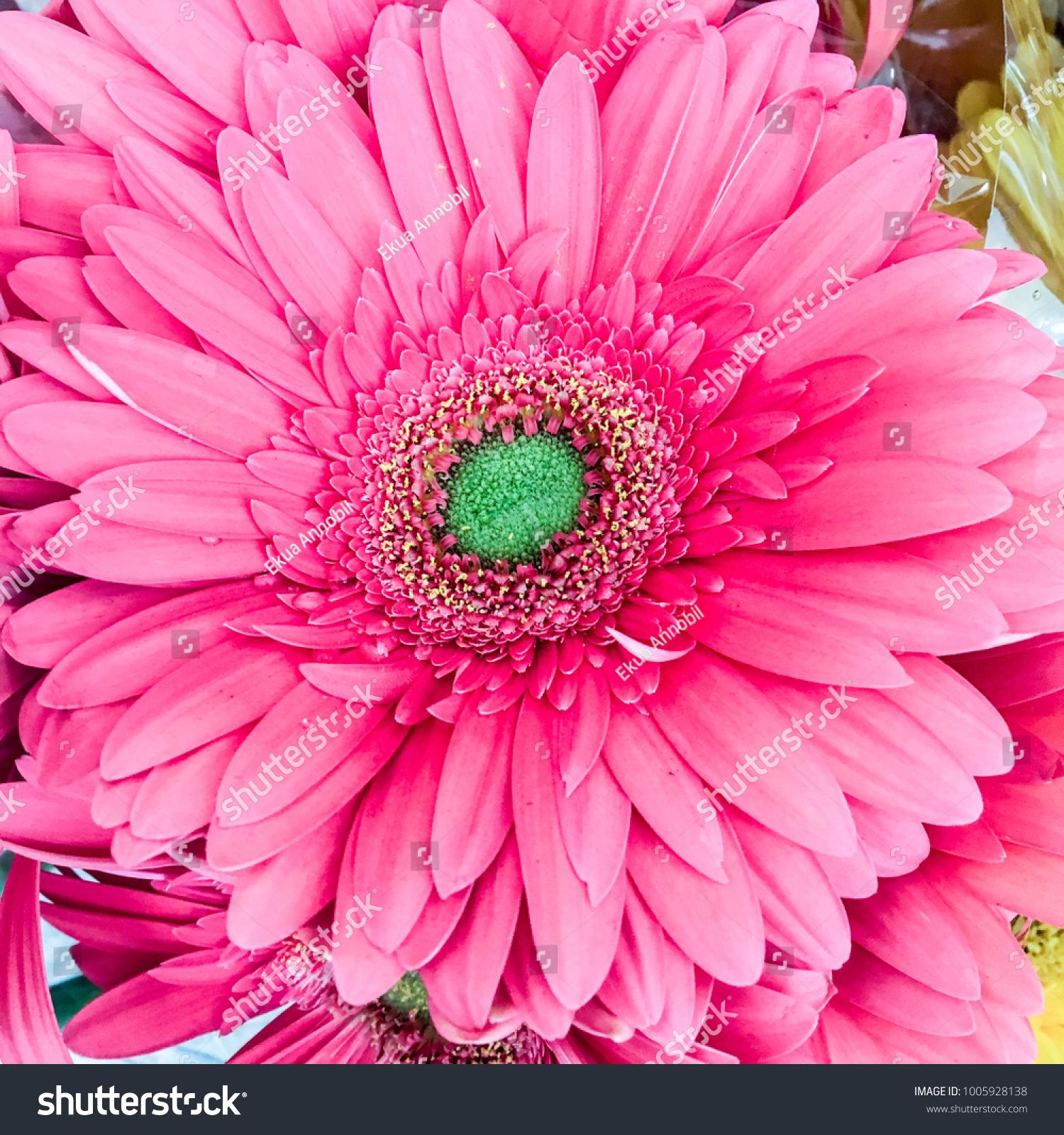 Pink Gerbera Flower With Vivid Green Centre Ez Canvas