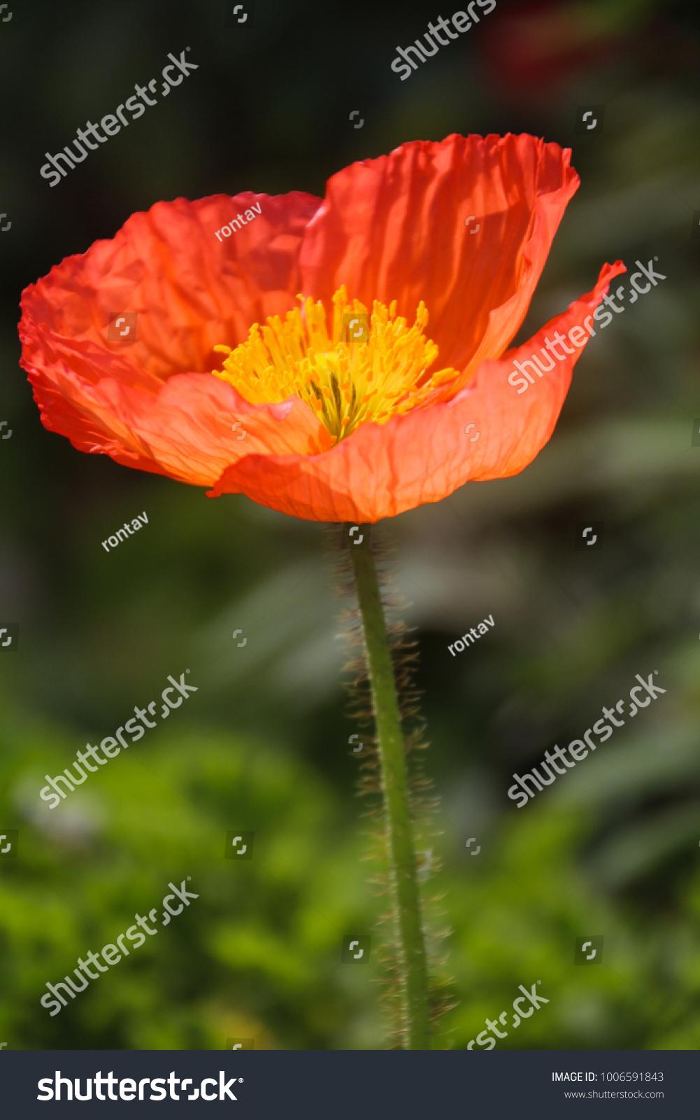 Close View Beautiful Poppy Flower Papaver Stock Photo Royalty Free