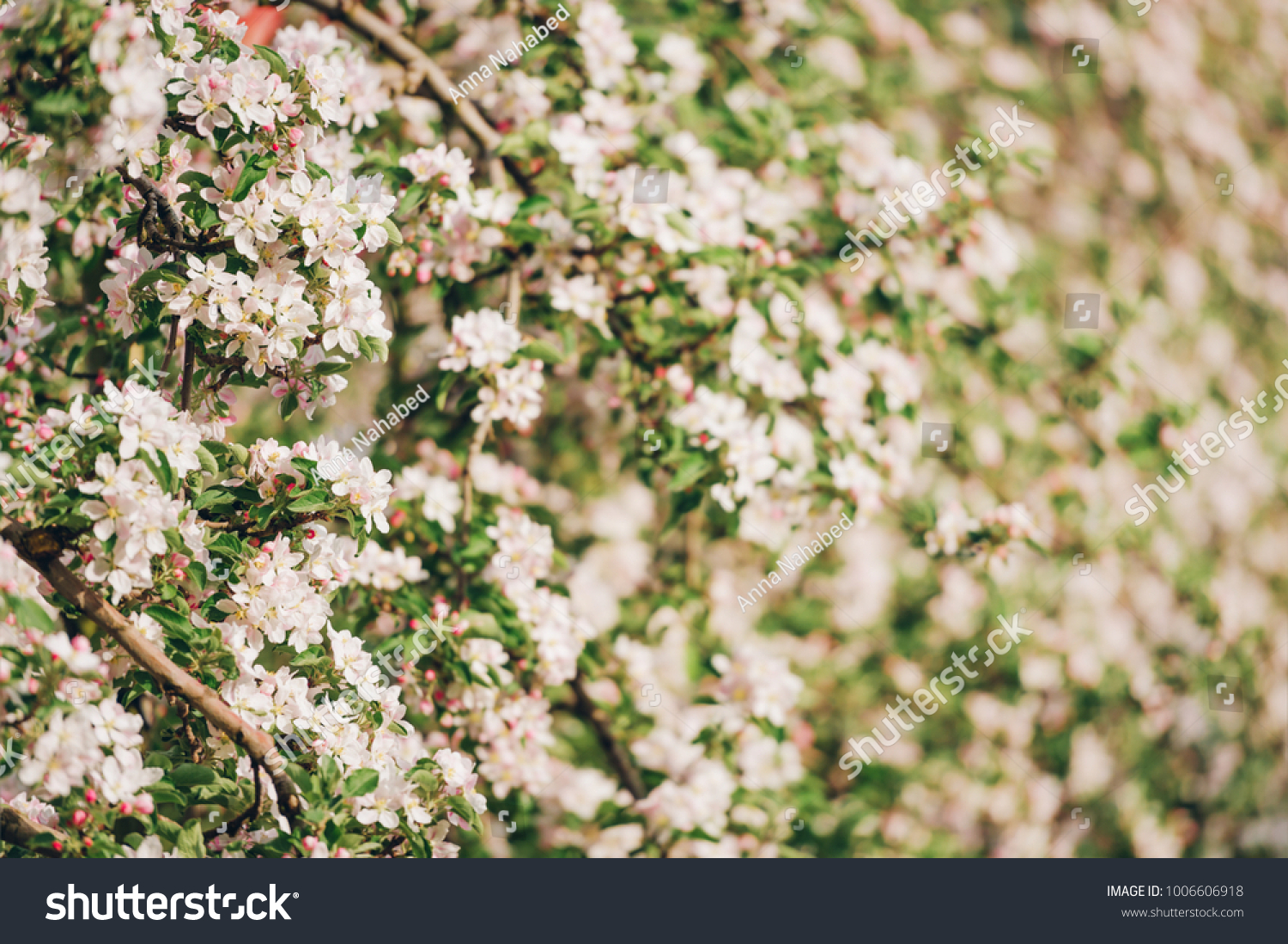 Blooming Apple Tree Large White Flowers Beautiful Stock Photo