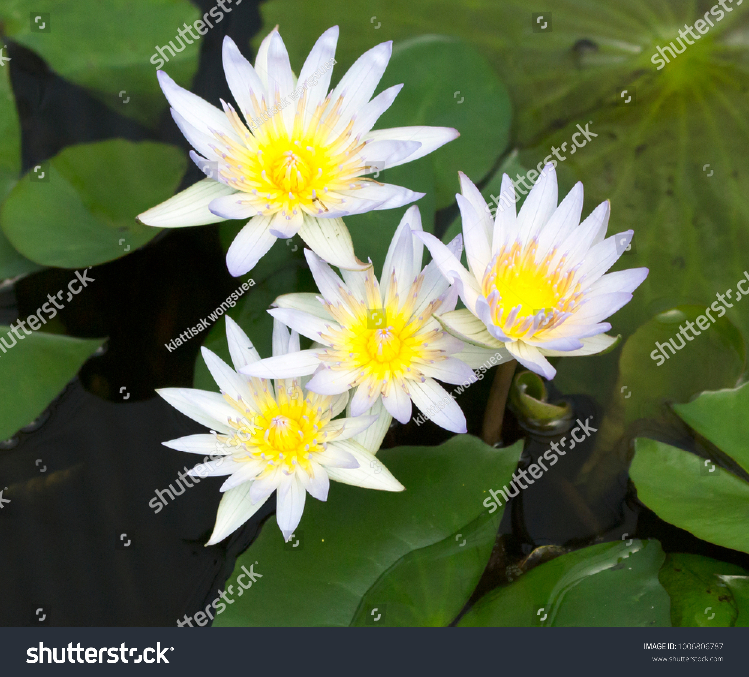 Yellow Waterlily Or Lotus Flower Blooming On Pond Ez Canvas