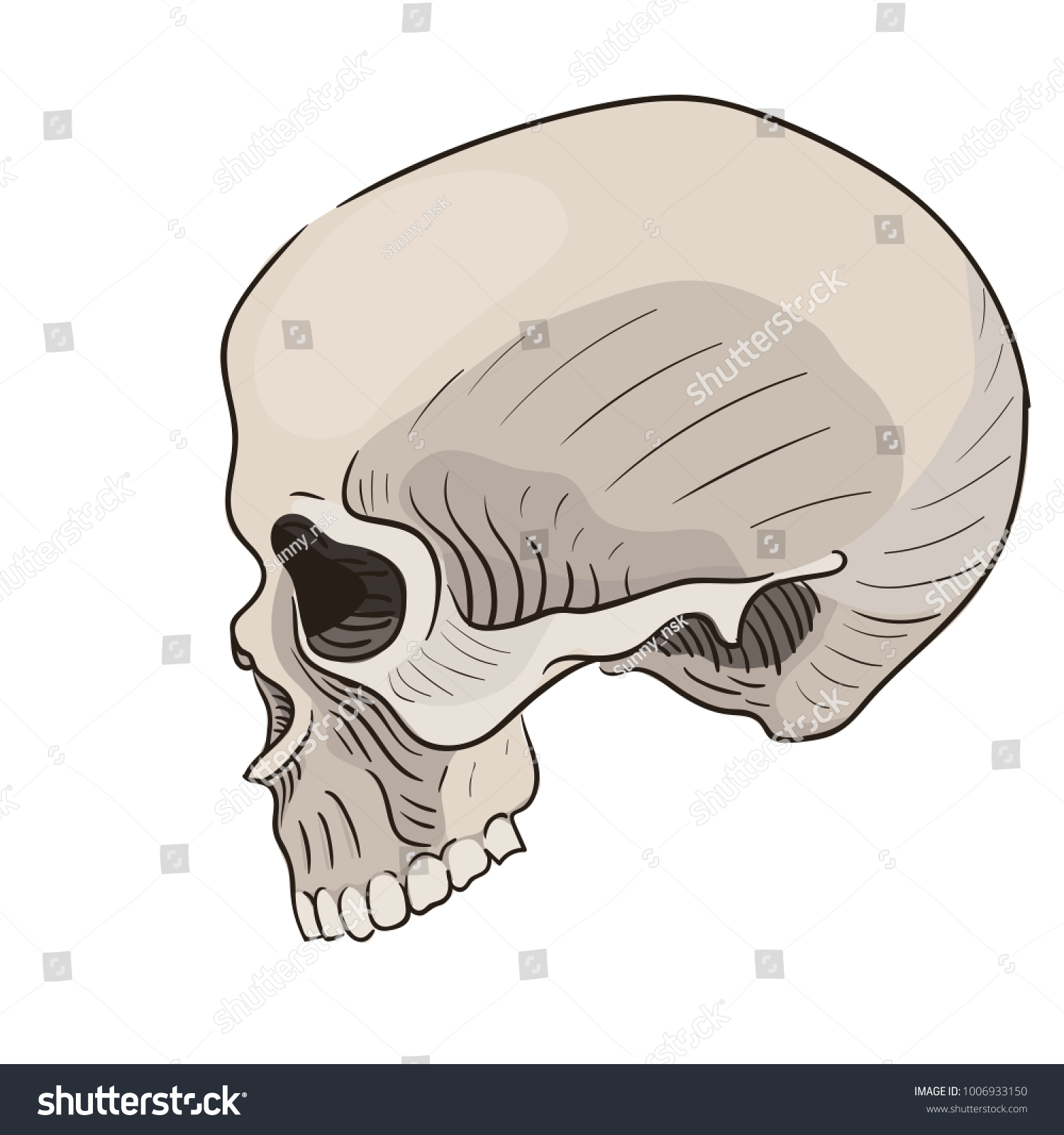 Vector Human Skull Side View Anatomy Stock Vector (Royalty Free ...