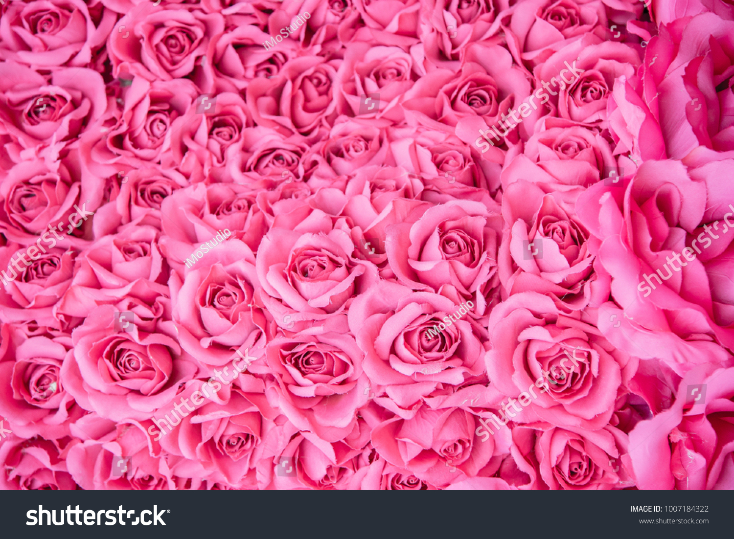 Beautiful Blooming Rose Pink Flowers Background Stock Photo Royalty