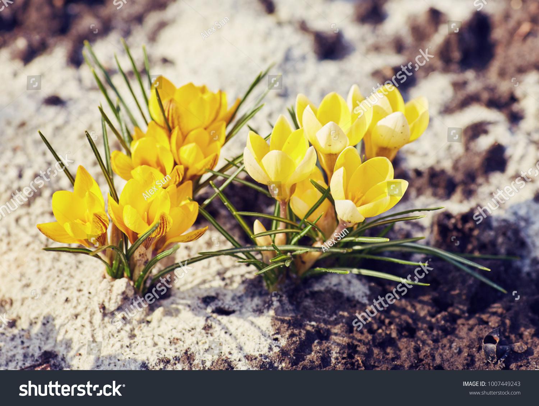 Yellow Crocuses Growing On Ground Early Stock Photo Image Royalty