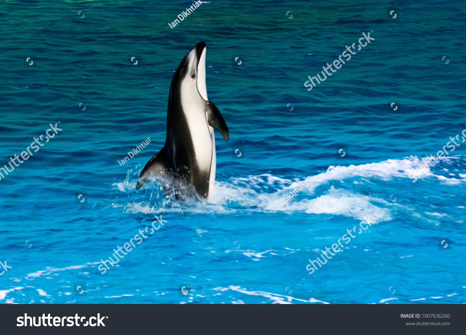 Dolphin Swimming Clean Blue Water Stock Photo (Edit Now) 1007636260