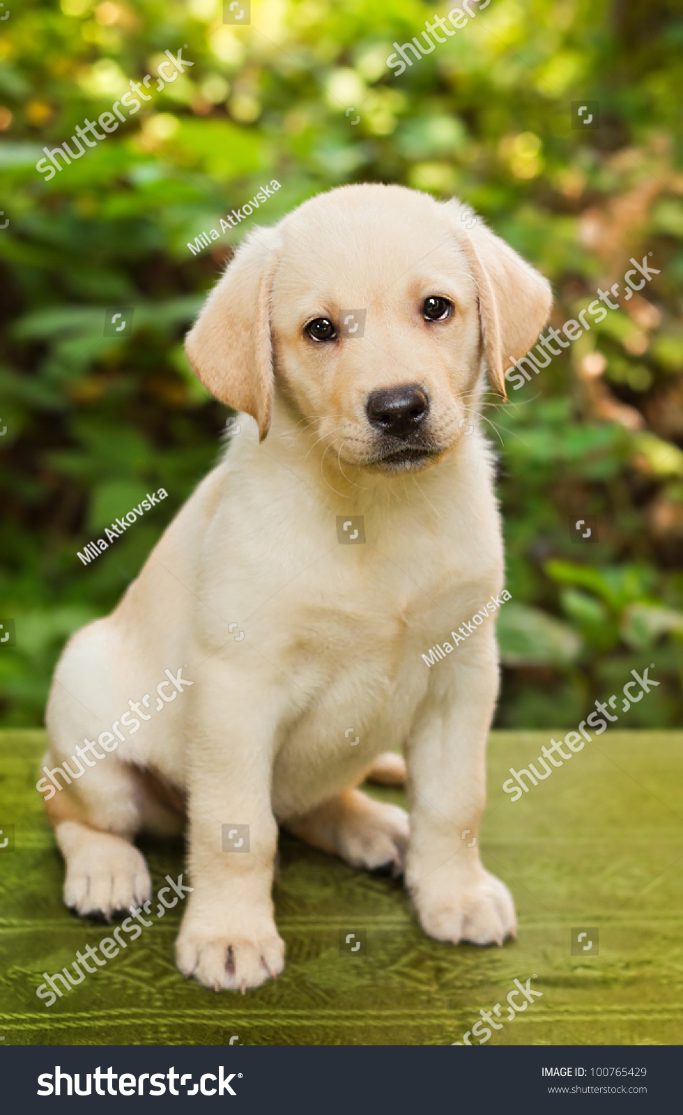 Labrador retriever puppy in the yard shallow dof stock for Dog house for labrador retriever
