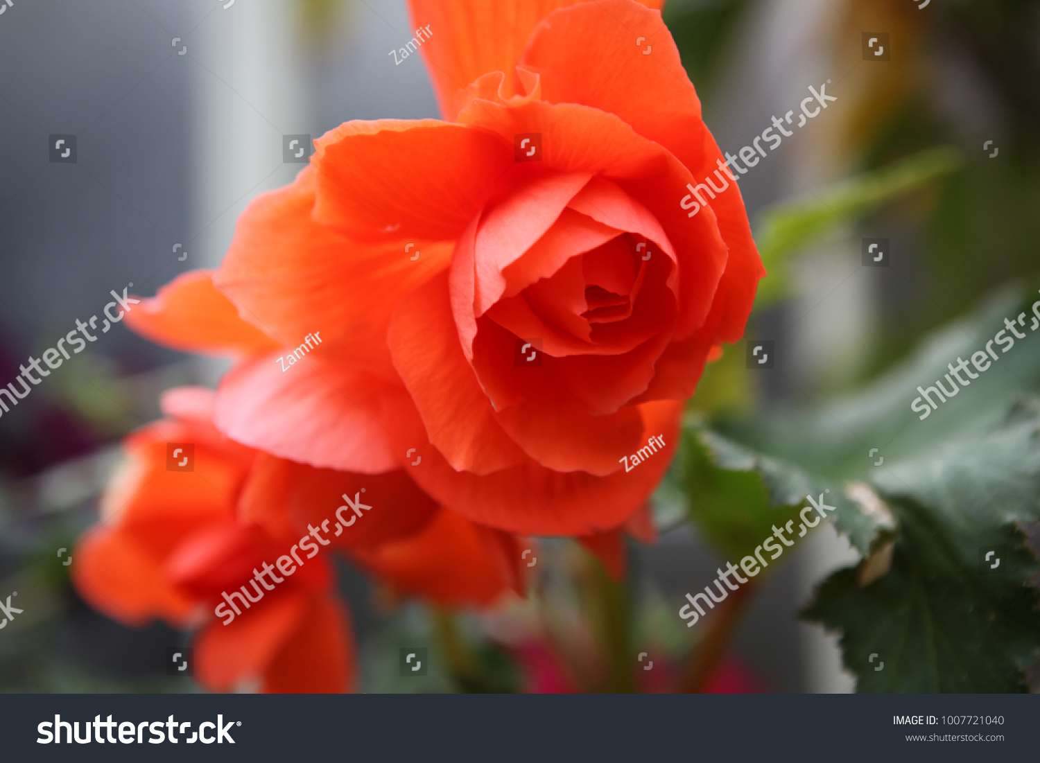 Begonia Is A Genus Of Perennial Flowering Plants In The Family