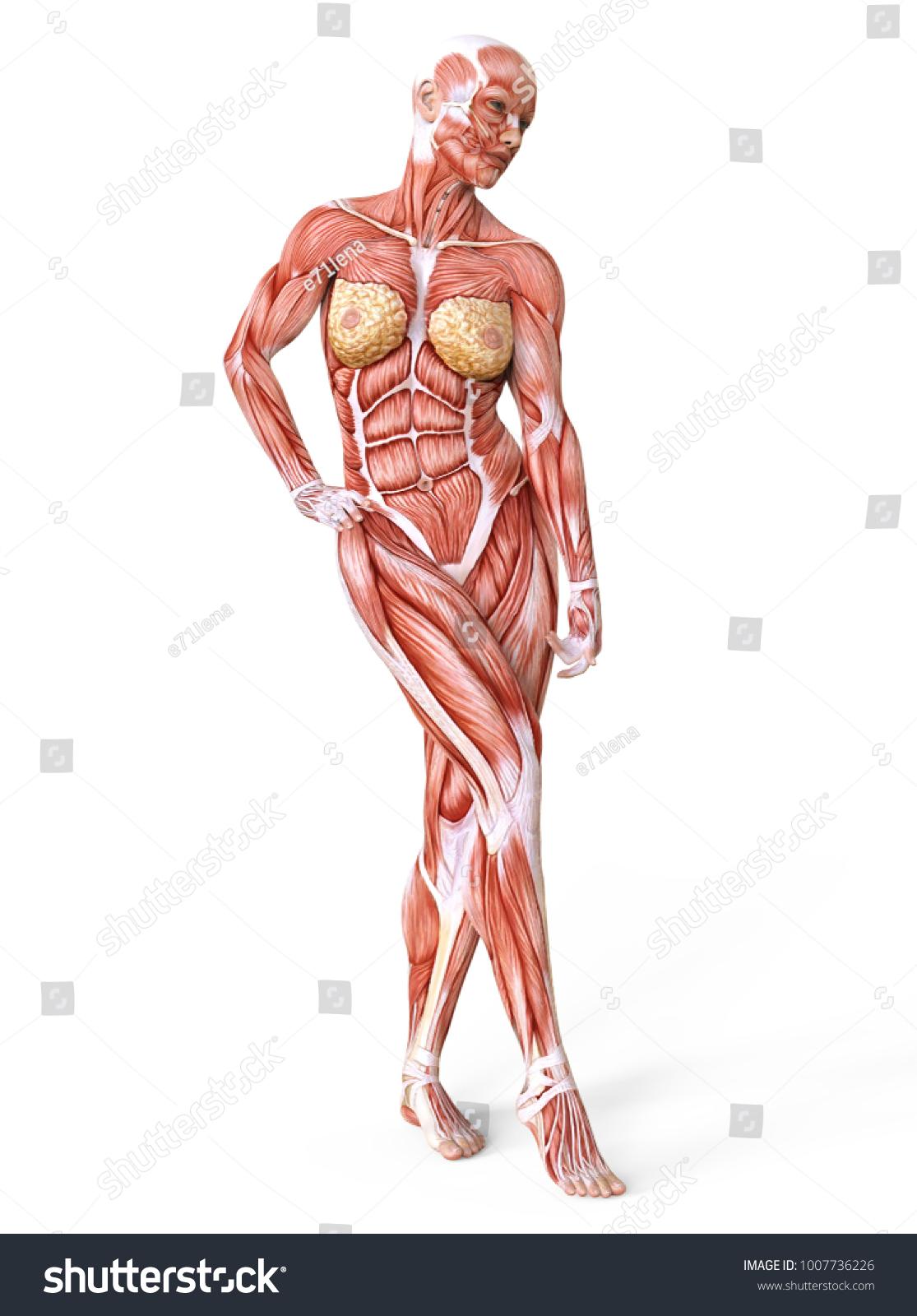 Human Muscles Body Ez Canvas