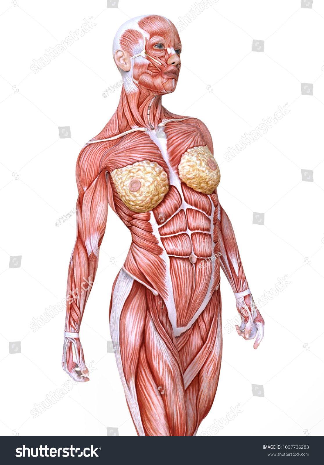 Female Body Without Skin Anatomy Muscles Stock Illustration ...