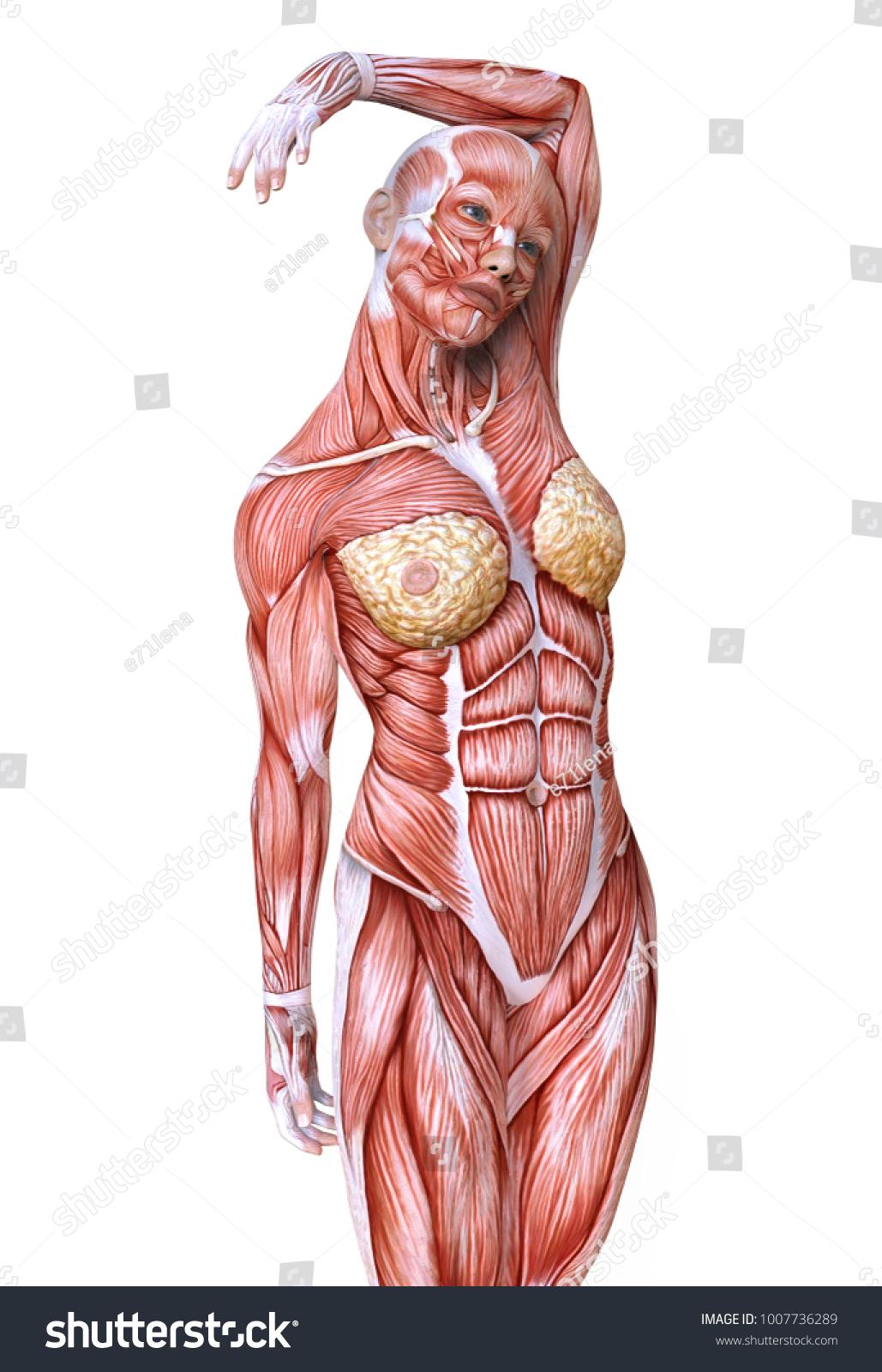 Royalty Free Stock Illustration Of Female Body Without Skin Anatomy