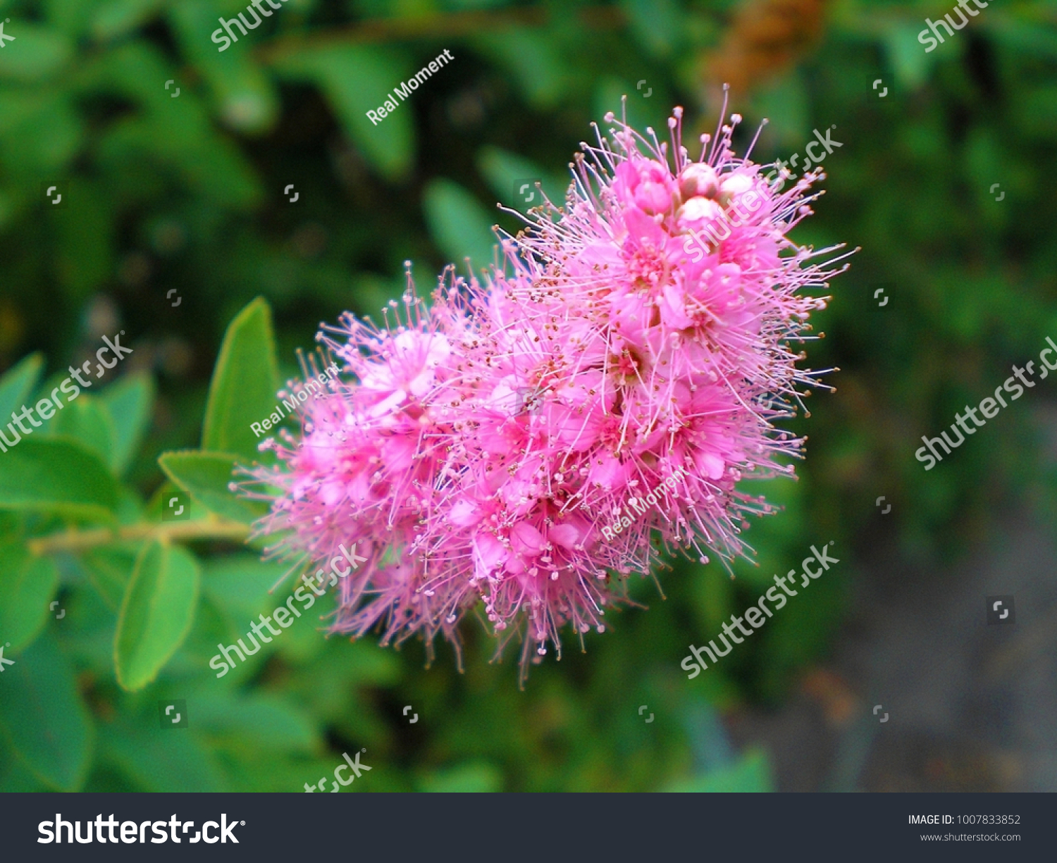 Branch Spirea Spiraea Blooming Spirea Billardii Stock Photo Edit