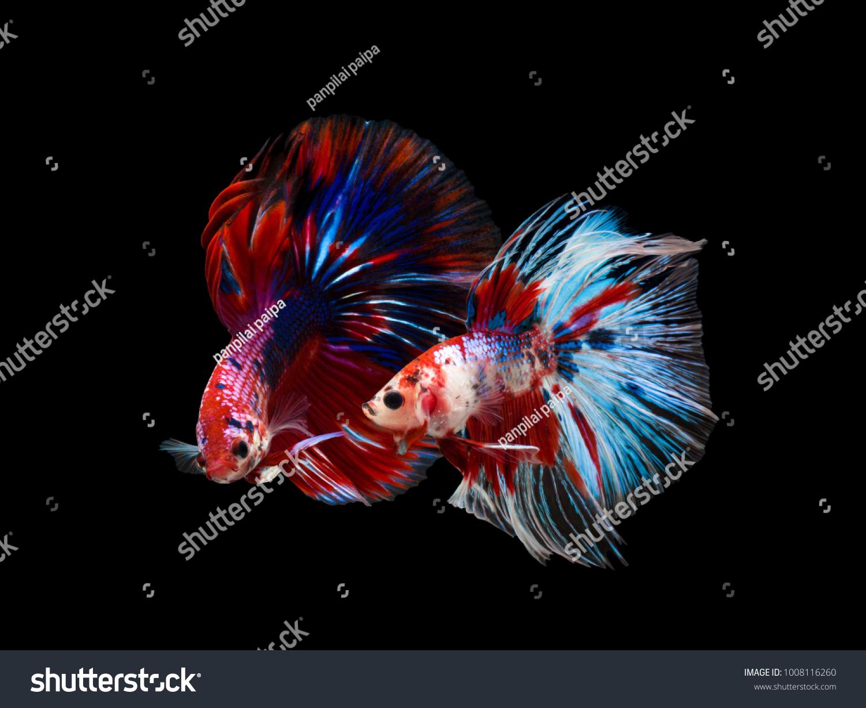 Multi Color Siamese Fighting Fish Rosetail Half Moonfighting Stock ...