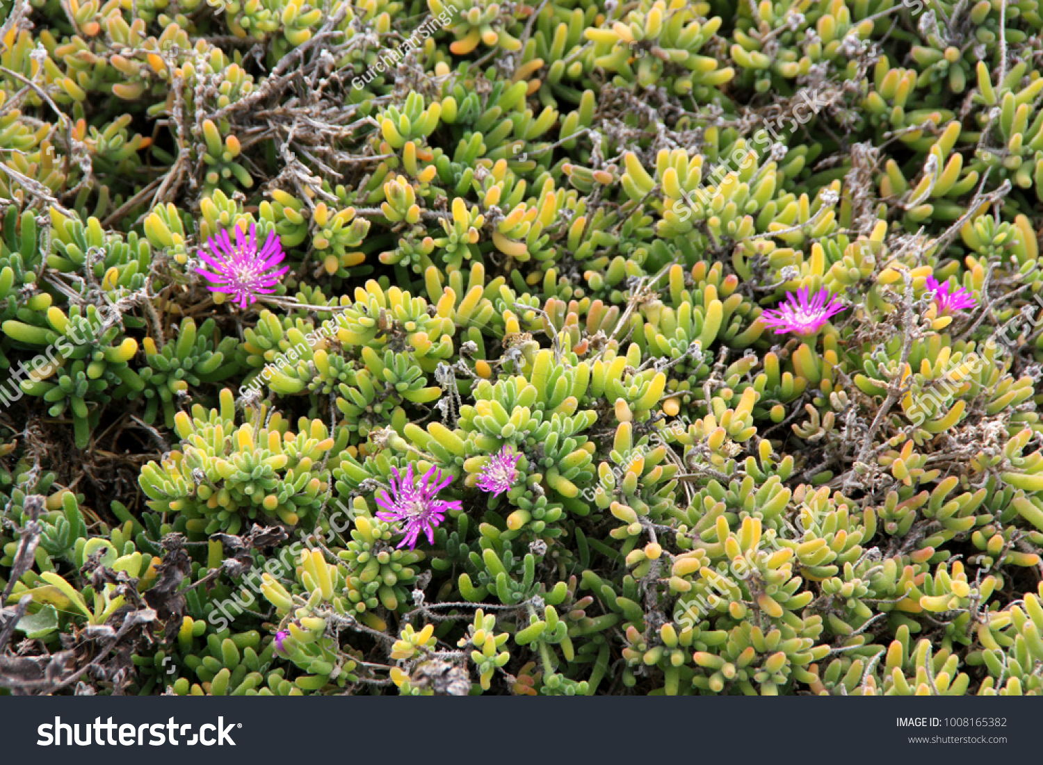 Purple Carpet Purple Iceplant Drosanthemum Floribundum Stock Photo