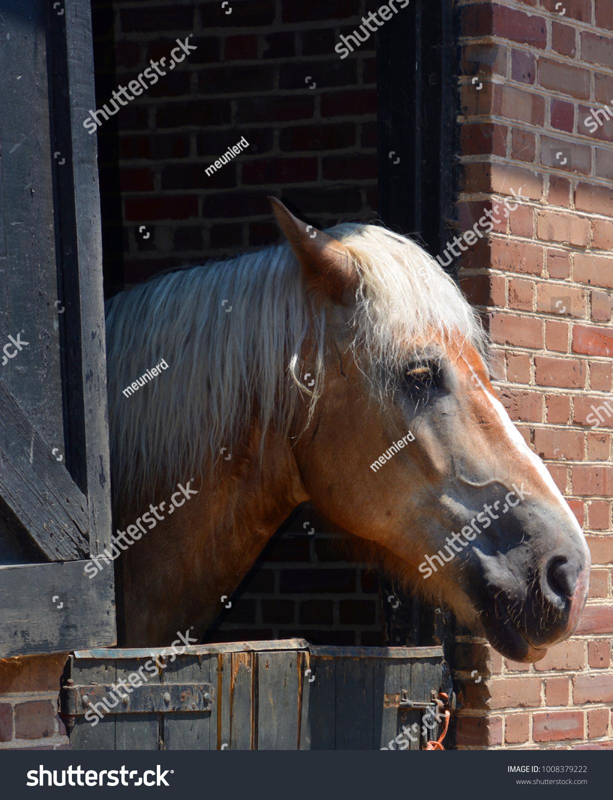 Percheron Breed Draft Horse That Originated Stock Photo Edit Now 1008379222