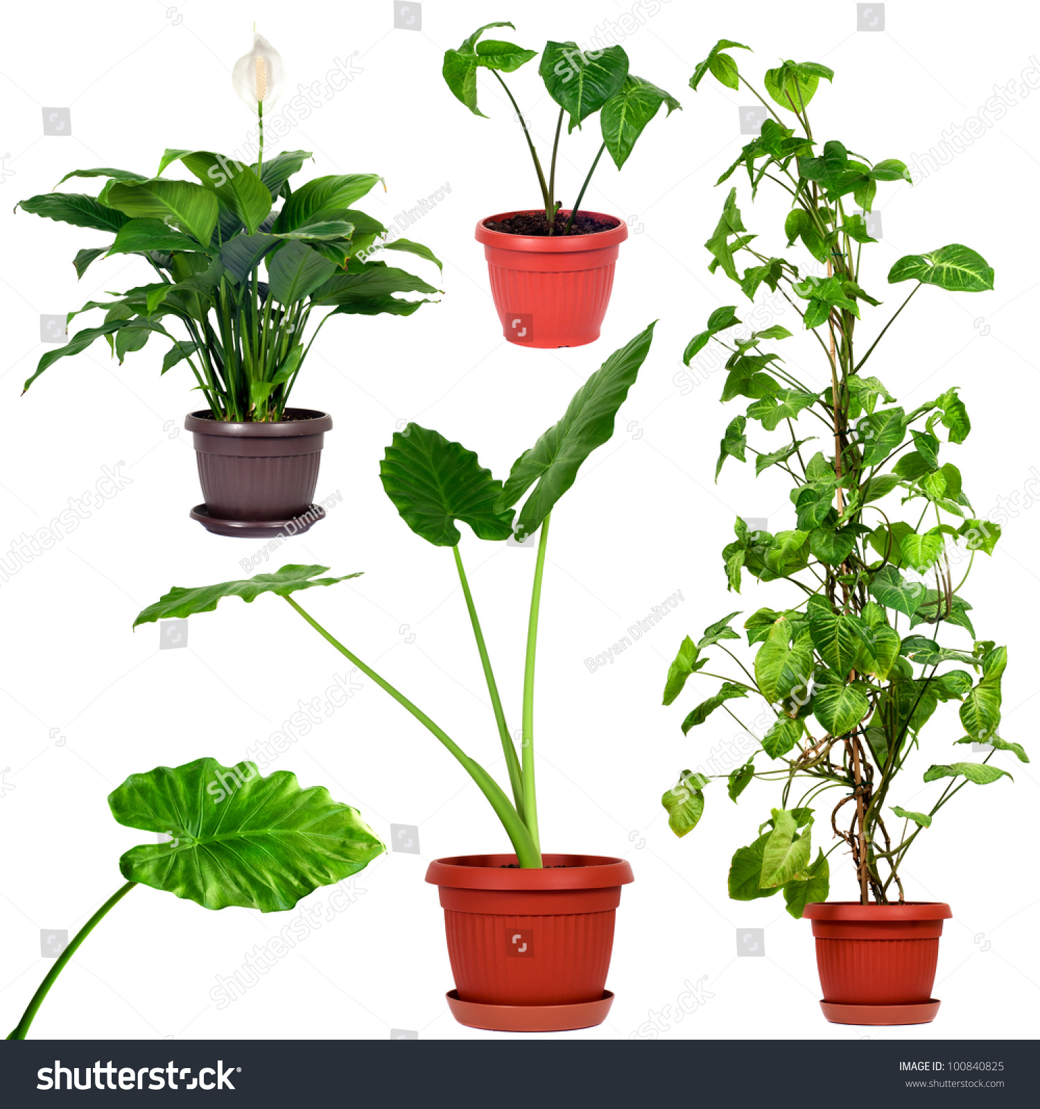 Set different plantssyngonium podophyllum nephthytis giant for Different garden plants