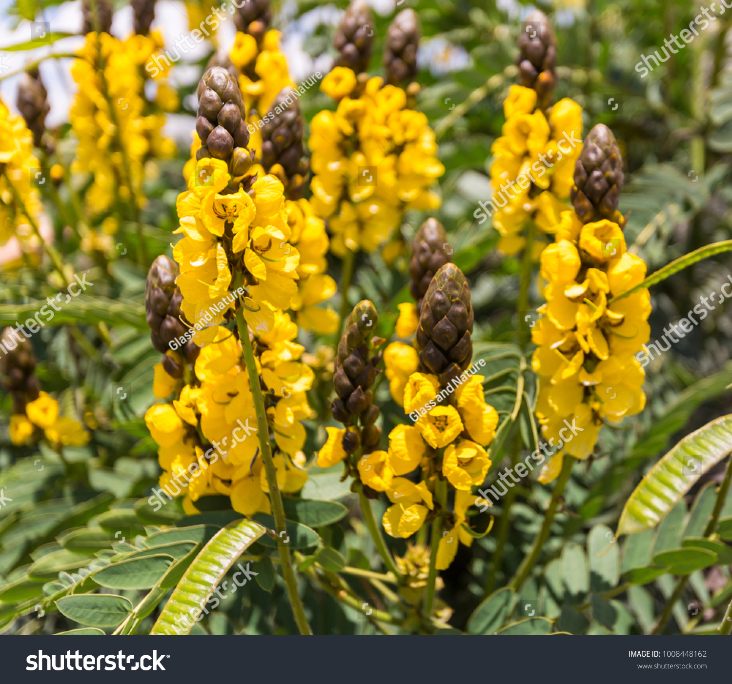 Sweet Broom Senna Yellow Flowering Mexican Stock Photo Edit Now