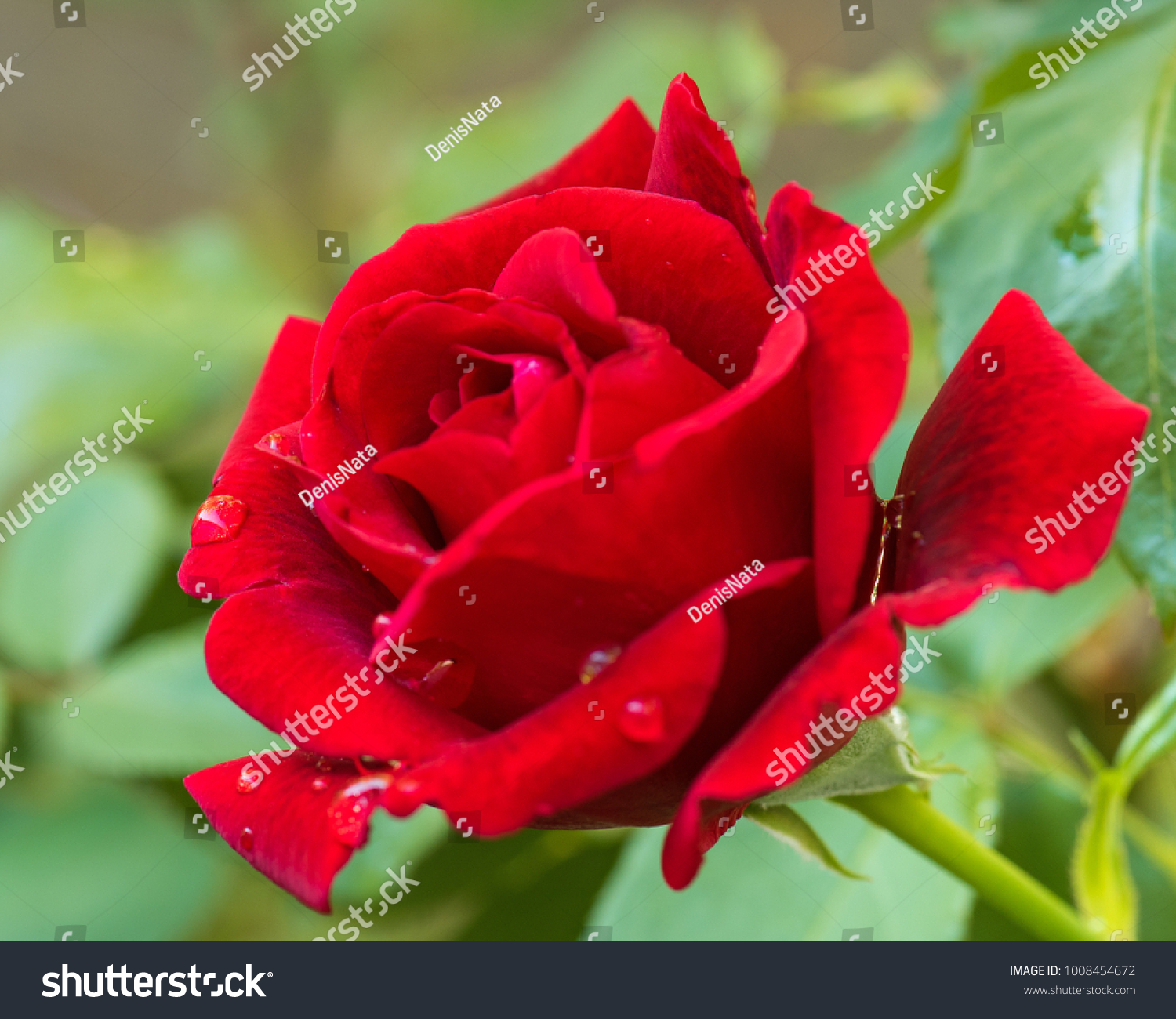 Beautiful Red Roses In The Garden With Rain Drops Of Water On The