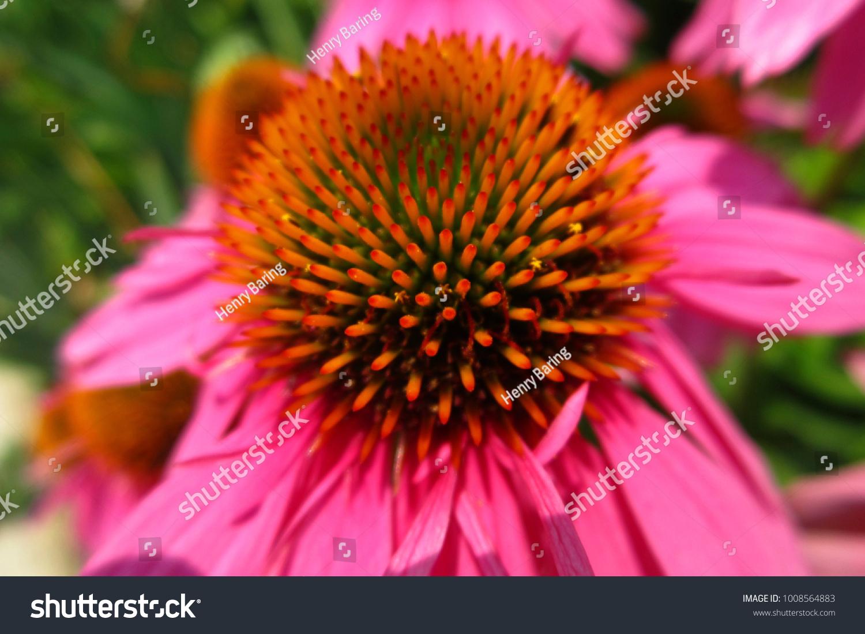 Bright Pink Orange Spiky Flower Stock Photo Edit Now 1008564883