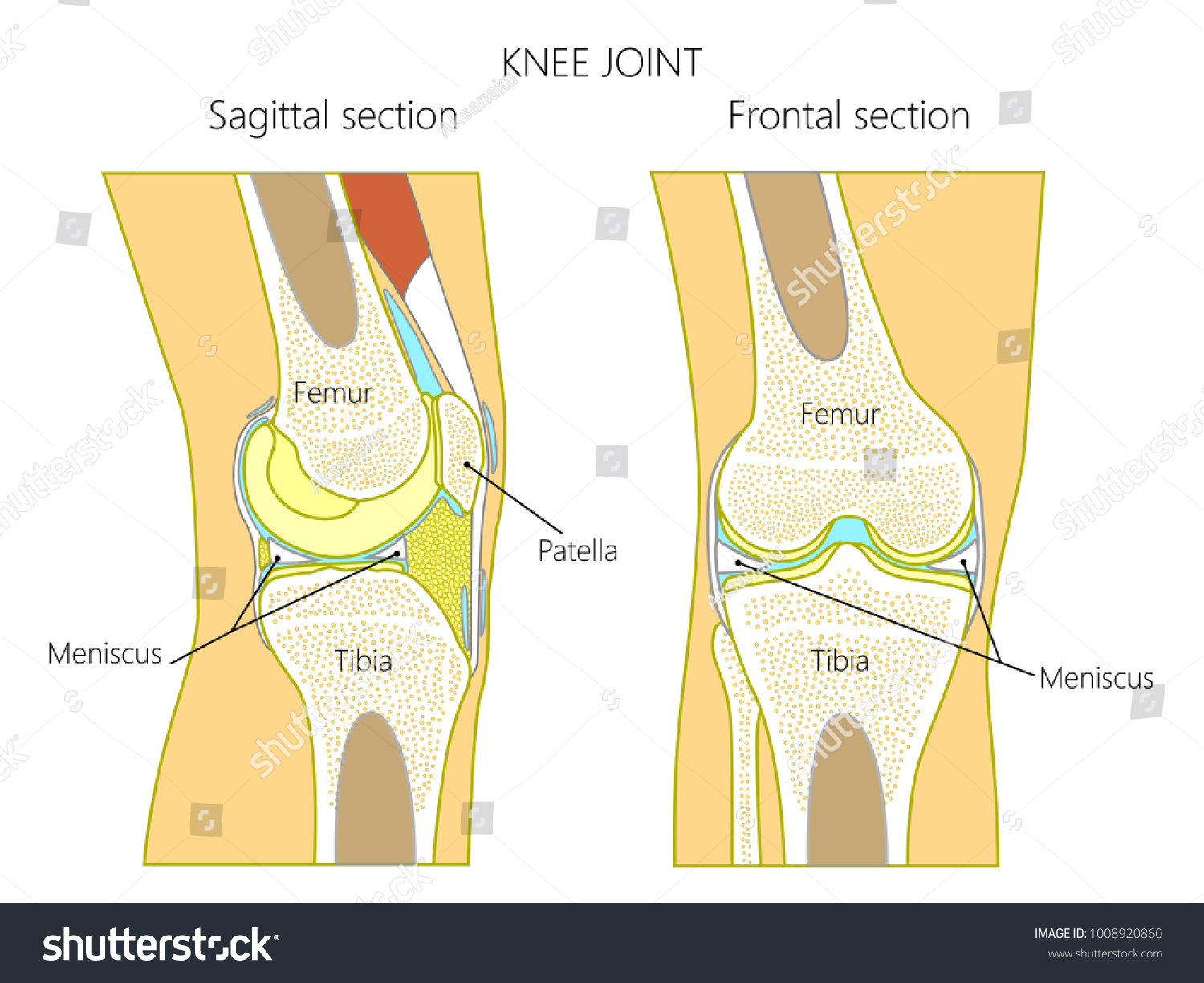 Vector Illustration Anatomy Healthy Knee Joint Stock Vector Royalty