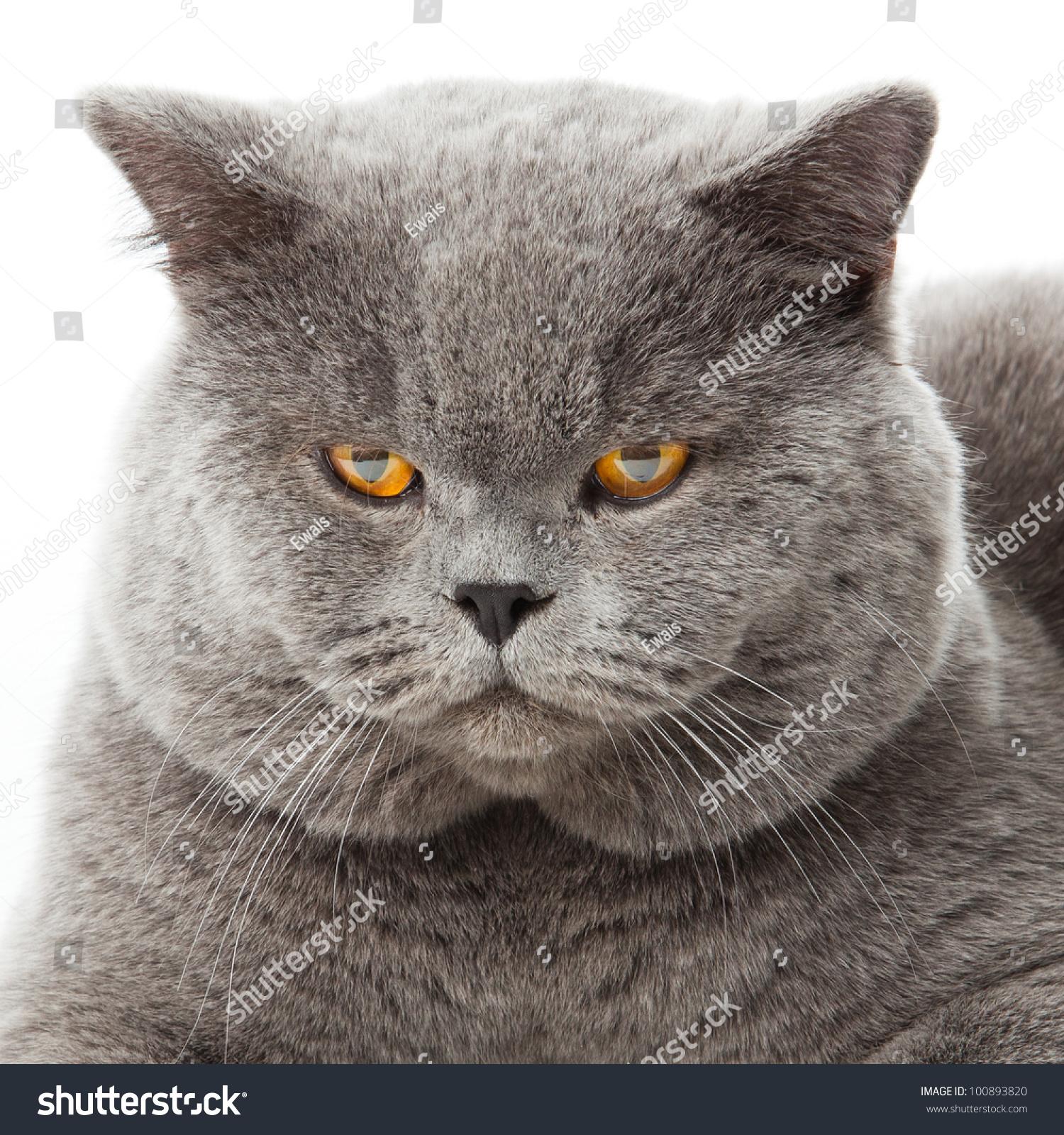 British Shorthair Cat White Background Stock