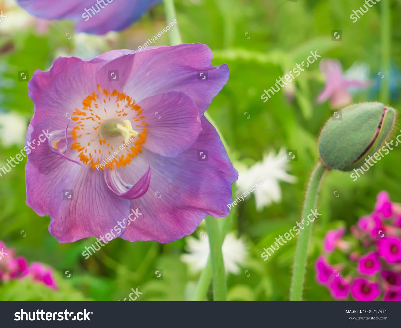 Shutterstock Www Poppy Flowering Buds Picturesque Picturesboss