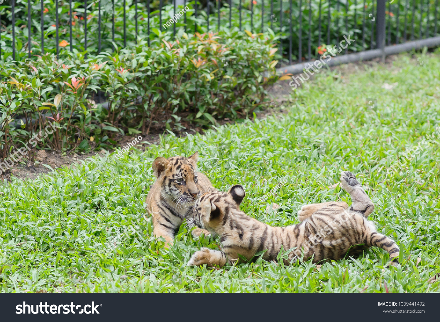Baby Tiger Running Very Cute Stock Photo Edit Now 1009441492