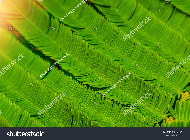 Acacia Pennata Garden Plant Good Properties Stock Photo Edit Now