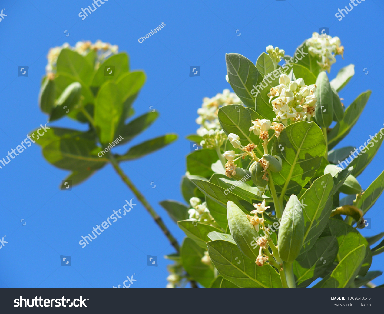 White Giant Indian Milkweed Crown Flower Stock Photo Edit Now