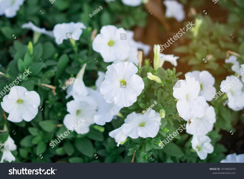 White Petunia Beautiful Pretty Purified Like Stock Photo (Edit Now ...