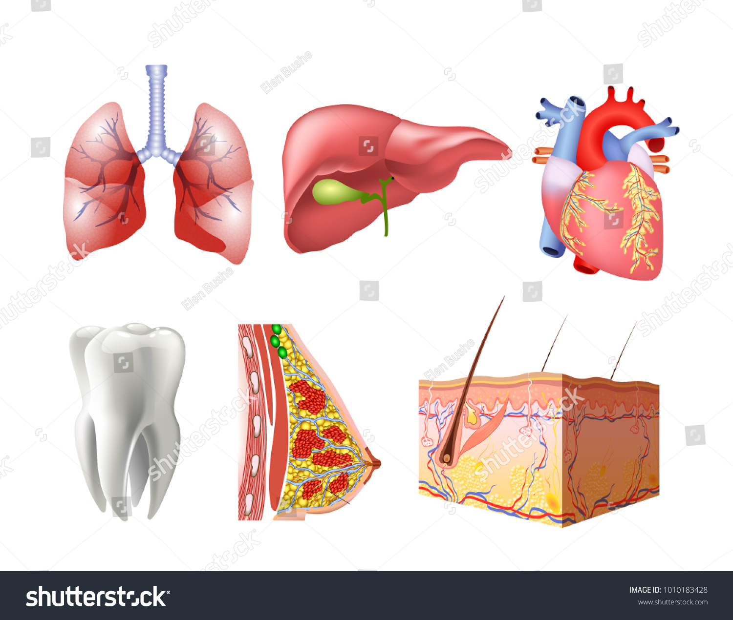 Different Flat Human Organs Set Brain Stock Vector Royalty Free Torso Diagram With Heart Lungs Stomach Bowels Kidneys Isolated