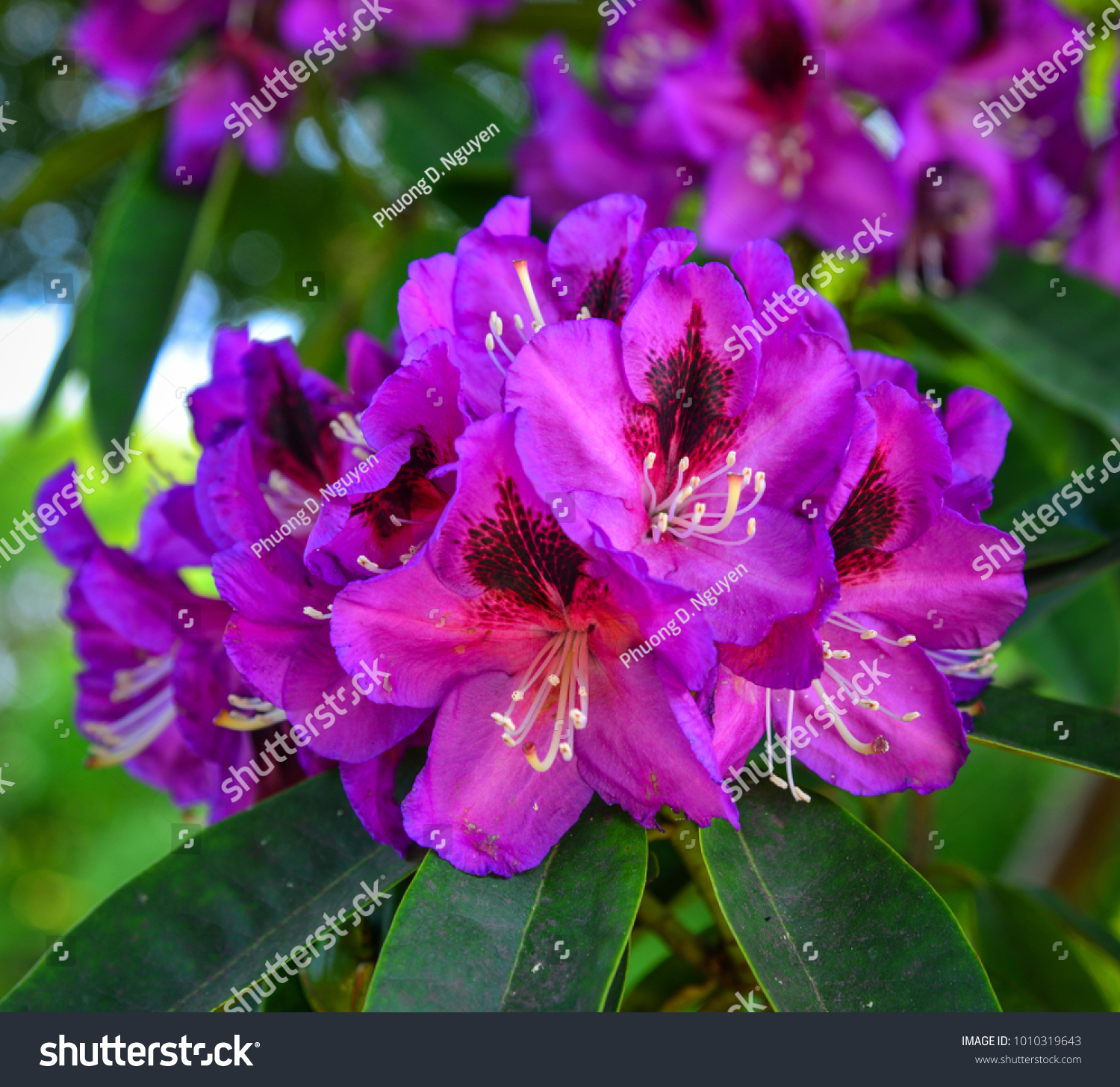 Flowering pink rhododendron bush with large blossoms ez canvas id 1010319643 mightylinksfo