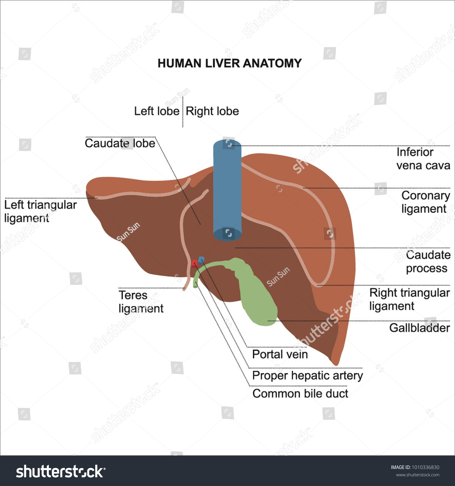 Human Liver Anatomy Diagram Student Dissertation Stock Vector (2018 ...