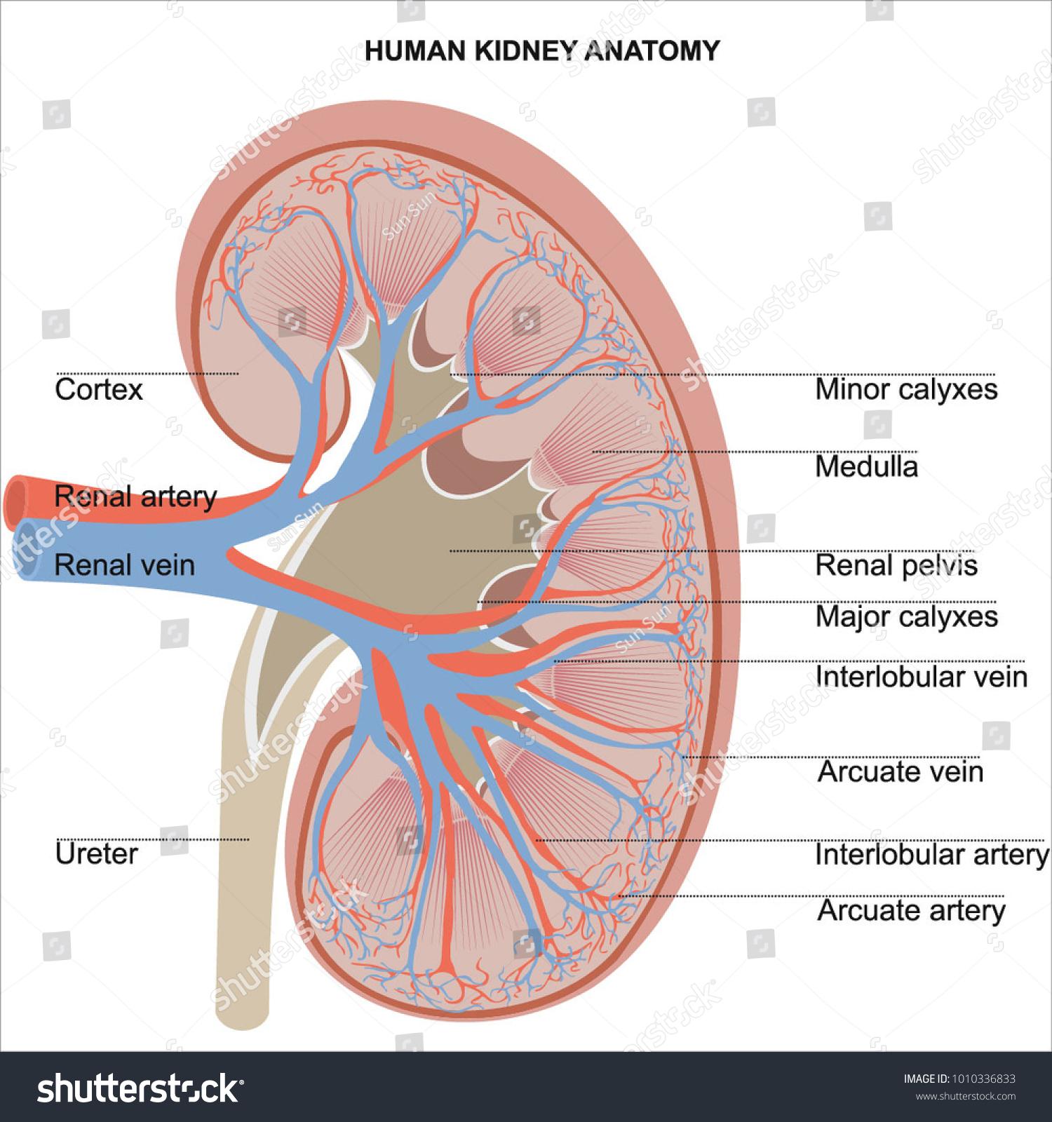 Human Kidney Anatomy Diagram Student Dissertation Stock Vector ...