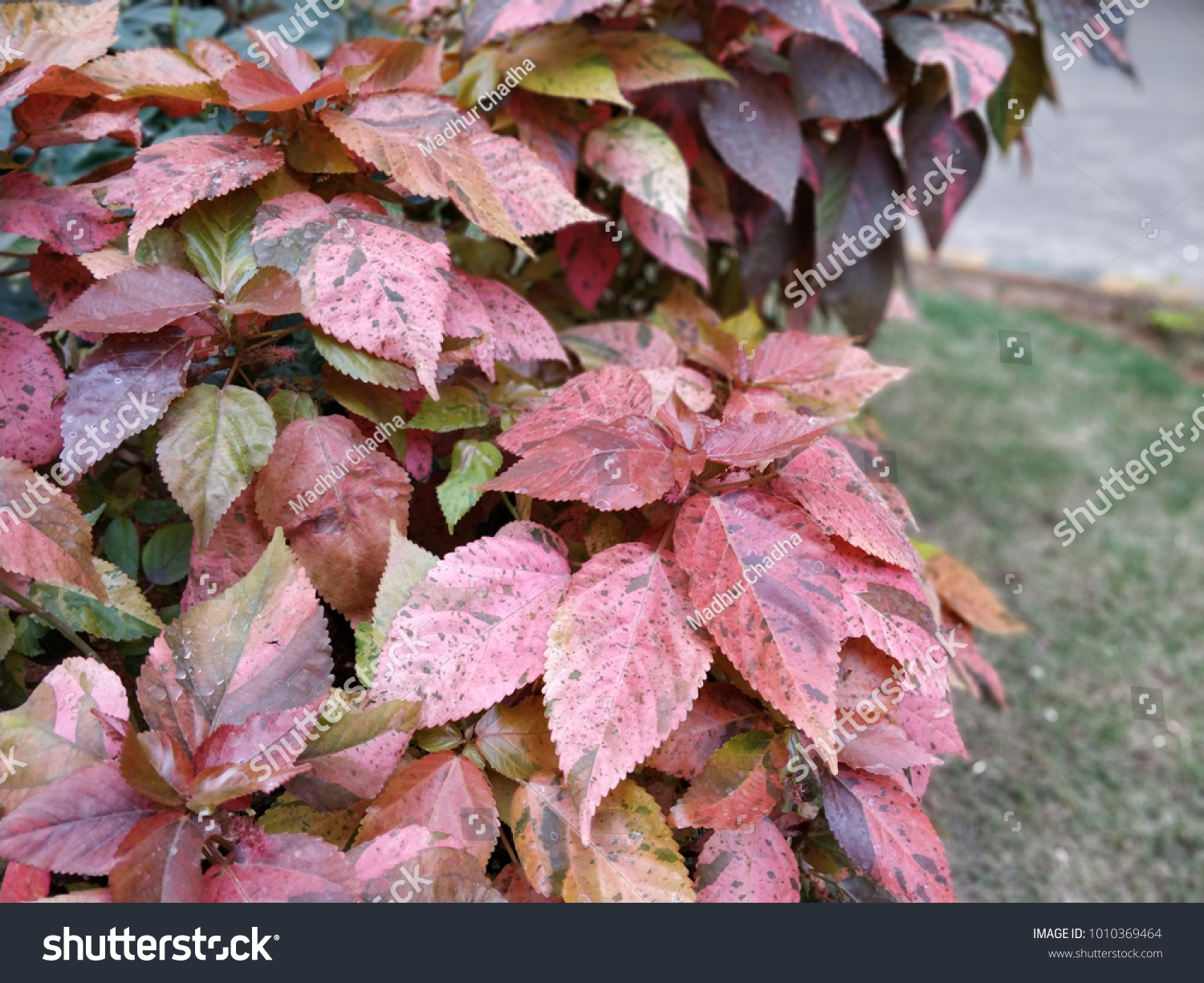 Fall Season Purple Red Leaves Portrait Stock Photo Edit Now 1010369464