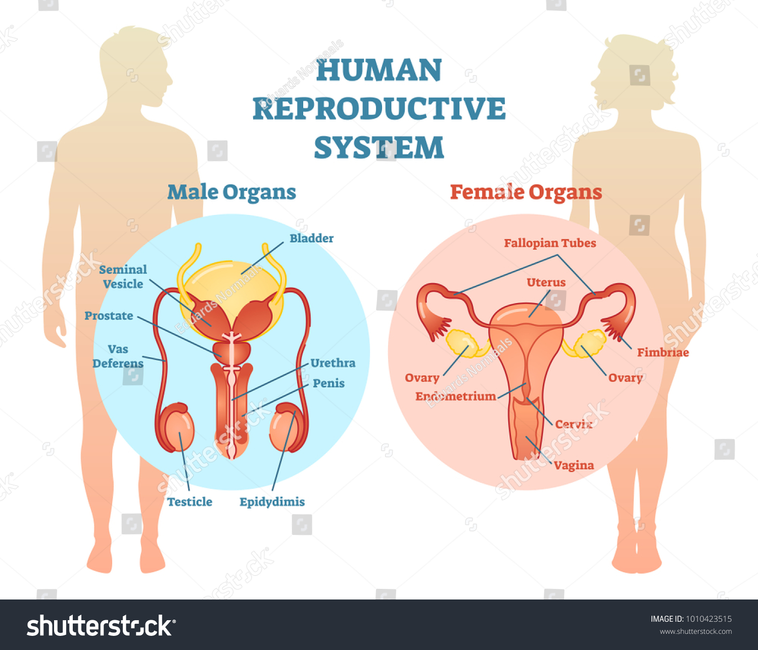 Human reproductive system vector illustration diagram stock vector human reproductive system vector illustration diagram male and female medicine educational information ccuart Choice Image