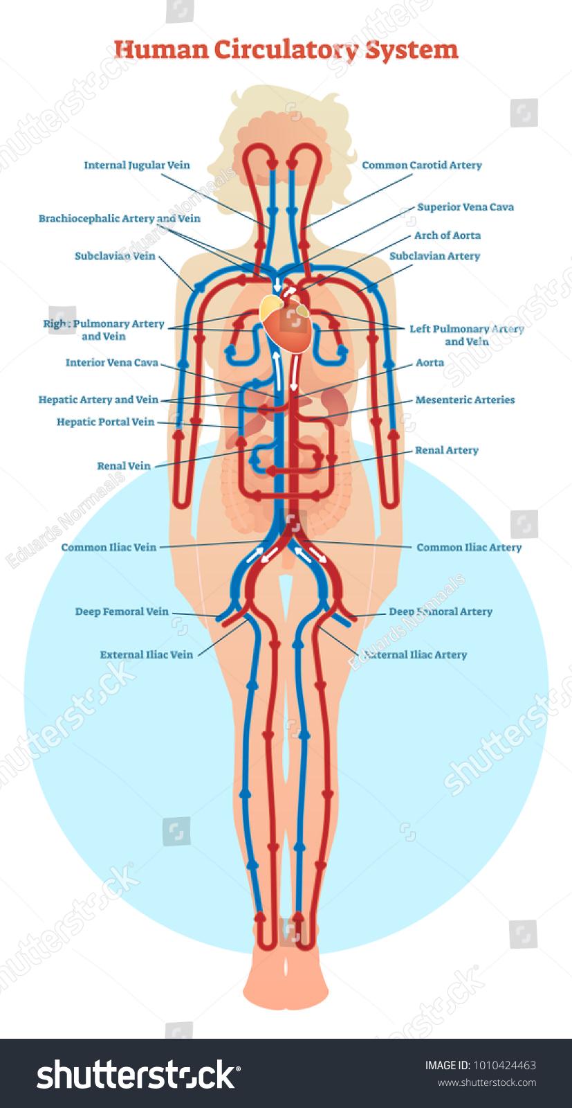 human circulatory system vector illustration diagram stock vector