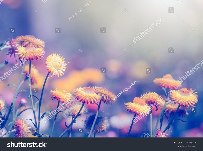 Beautiful straw flowers everlasting flowers helichrysum stock photo beautiful straw flowers or everlasting flowers helichrysum bracteatum with blue filter izmirmasajfo