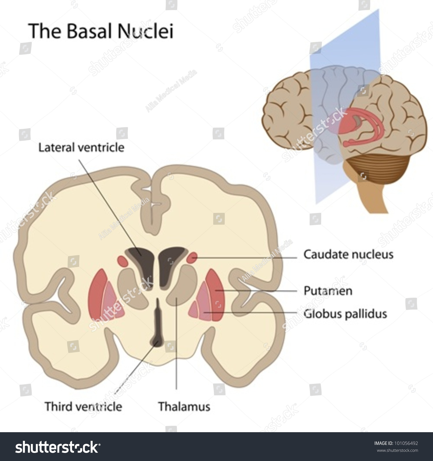Basal Nuclei Brain Stock Vector Royalty Free 101056492 Shutterstock