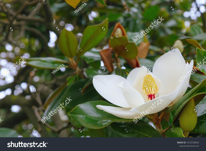 Big White Magnolia Flower On Tree Stock Photo Edit Now 1010738092