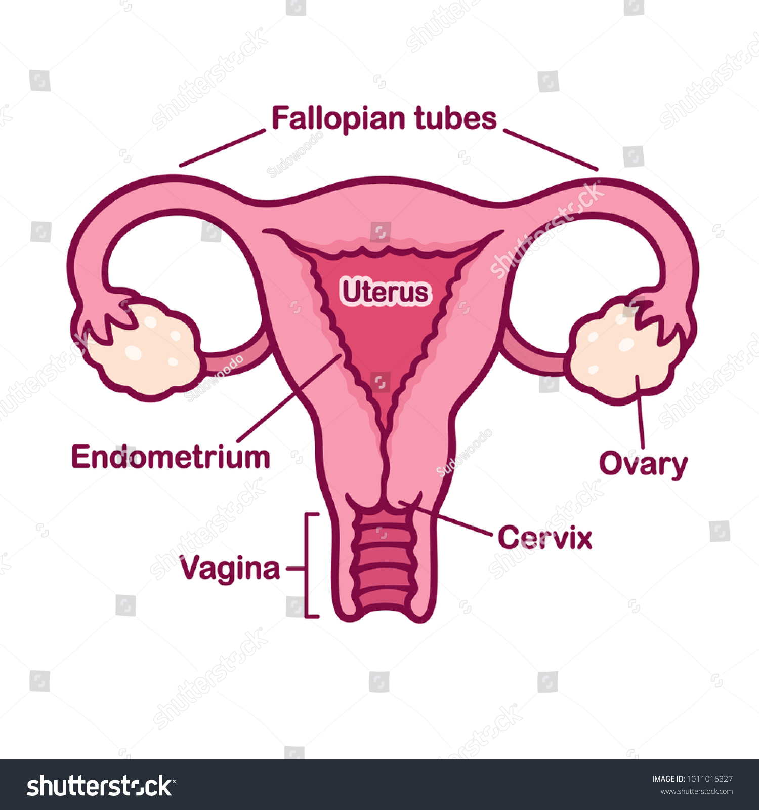Royalty Free Stock Illustration Of Hand Drawn Female Reproductive