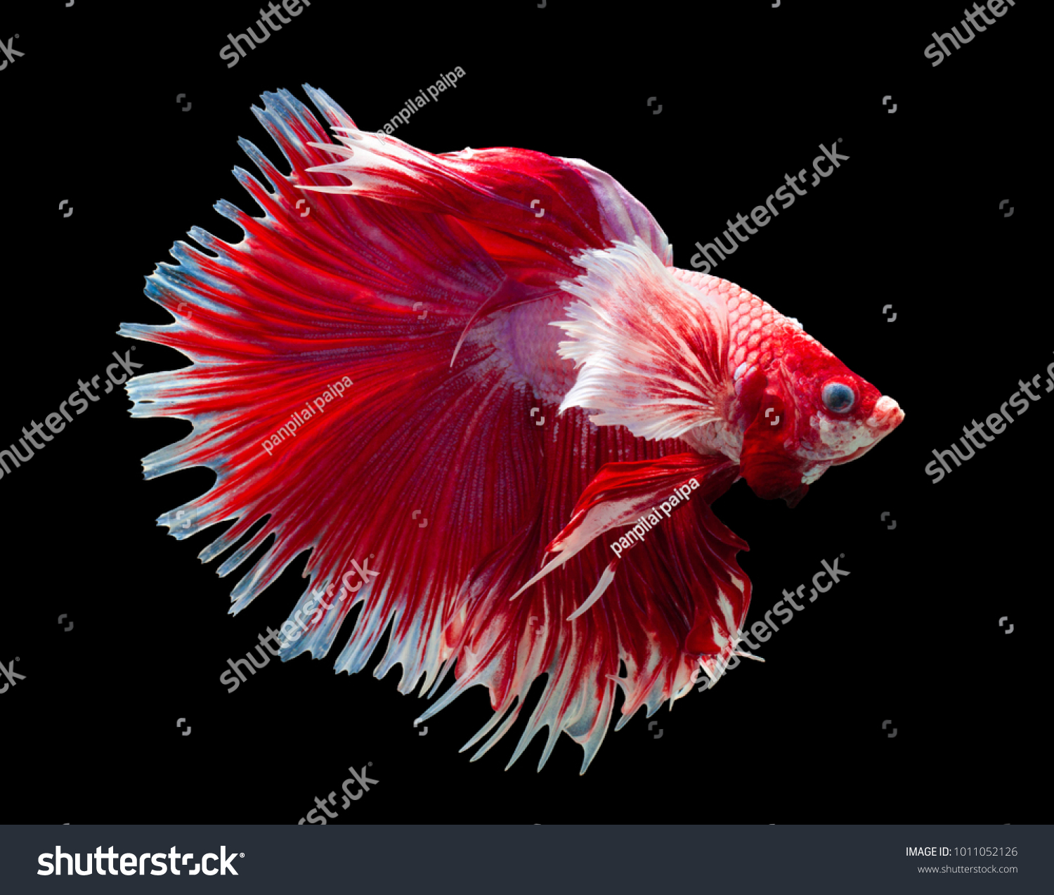 capture the moving moment beautiful of siam betta fish in thailand ...