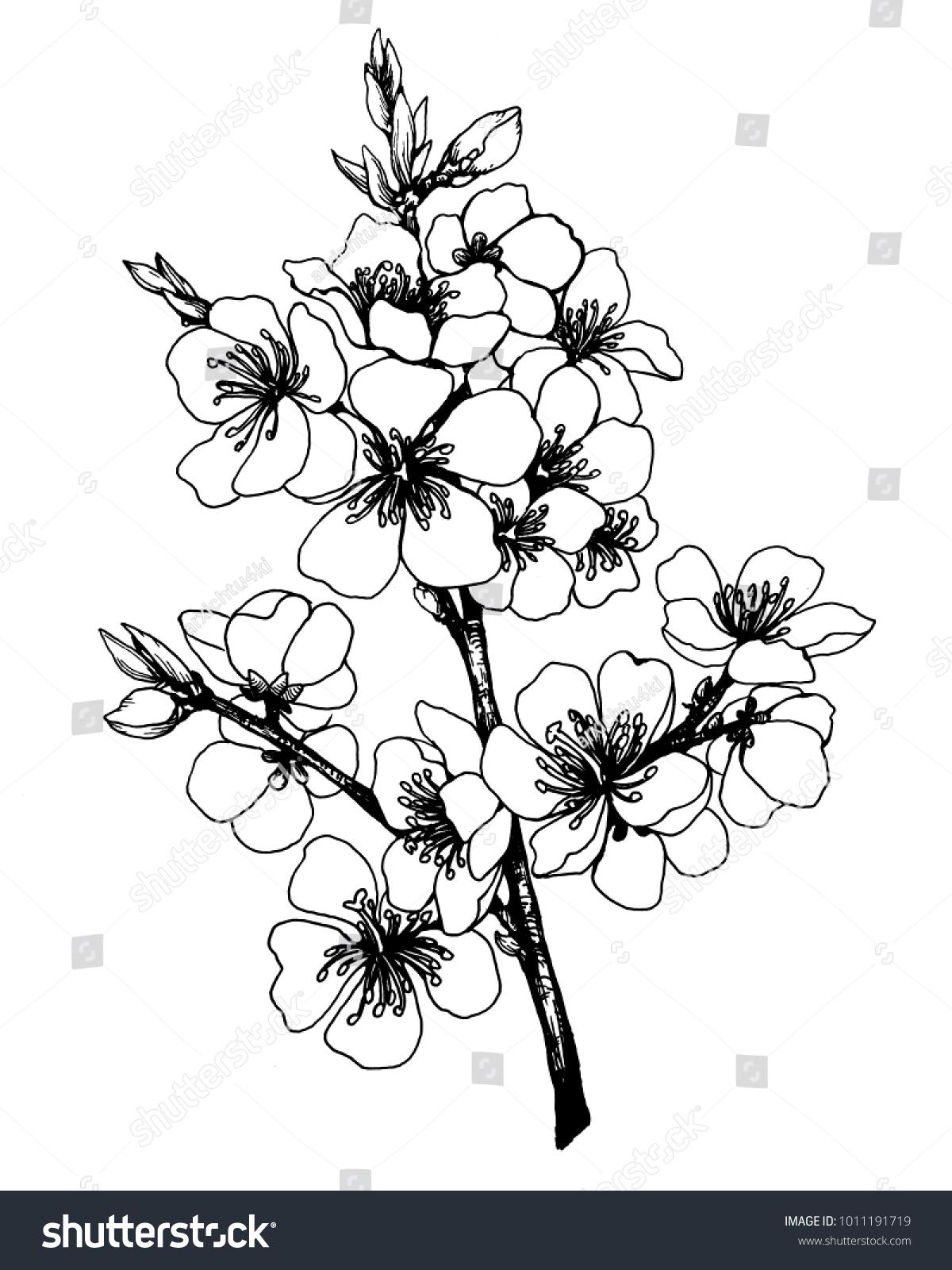 Branch Japan Cherry Sakura Flowers Black Stock Illustration