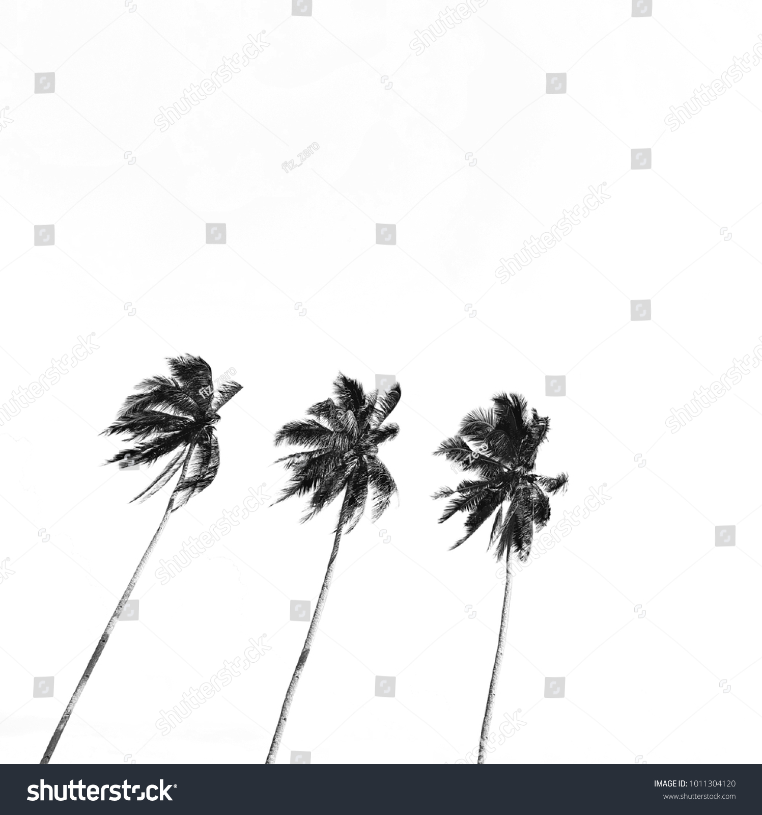 Coconut tree isolated on white background black and white photography