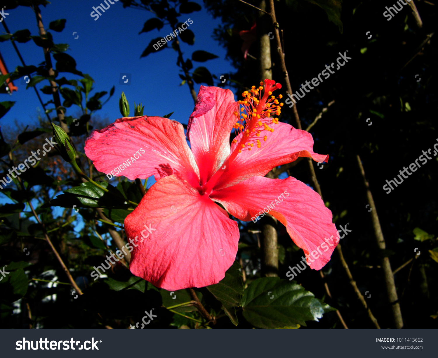Hibiscus rosasinensis known colloquially chinese hibiscus stock hibiscus rosa sinensis known colloquially as chinese hibiscus izmirmasajfo