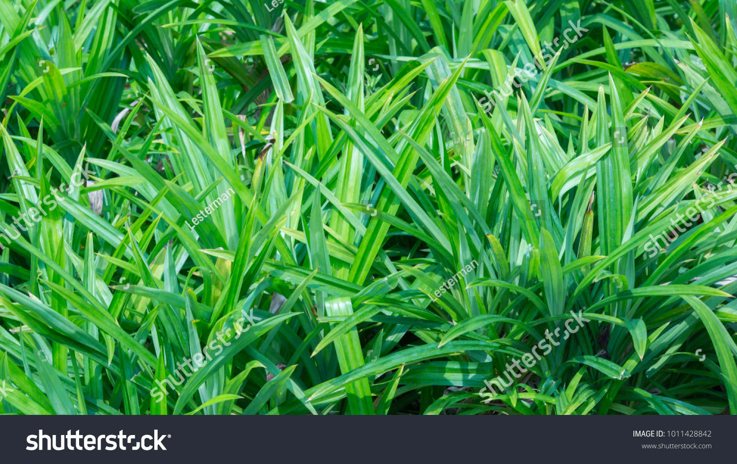 Leaves Pandanus Tree Greenish Leaves Color Stock Photo 1011428842 ...