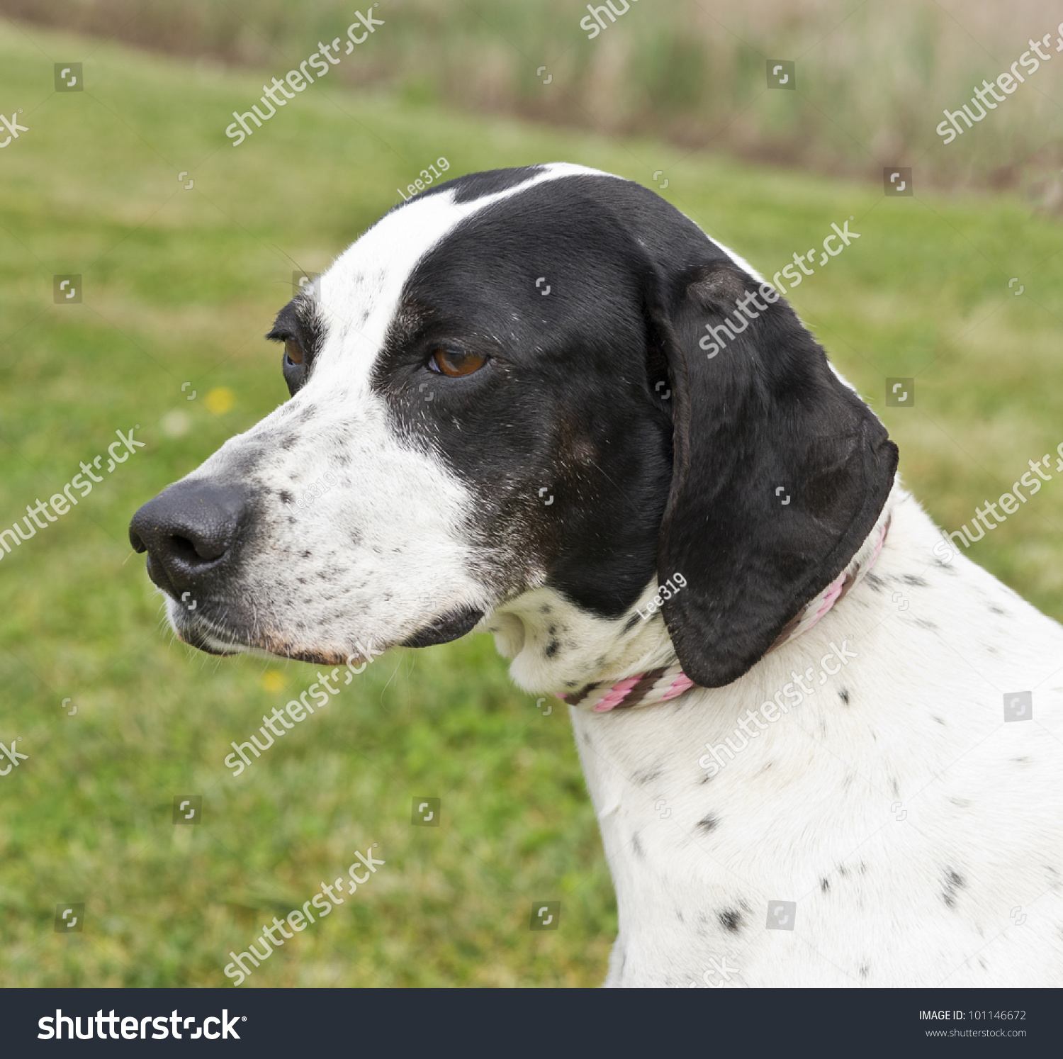 Close Up Of A Black And White Pointer Dog Stock Photo ...