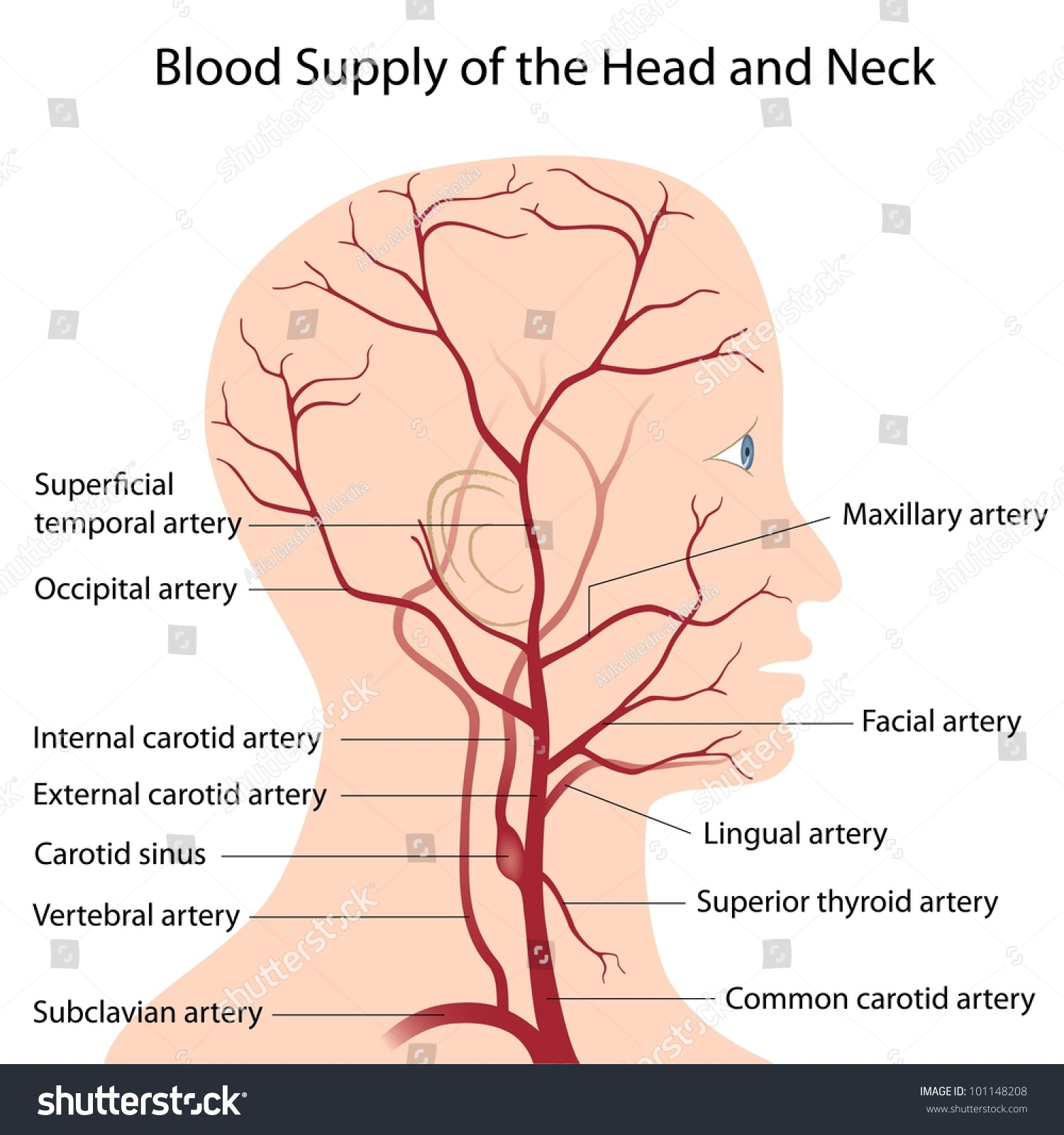 Blood Supply Head Neck Stock Illustration 101148208 - Shutterstock